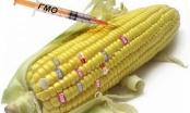 Русия забранява ГМО продуктите